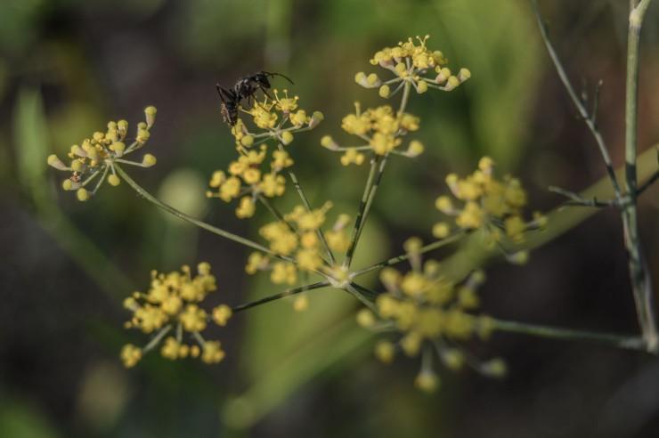 antonflower